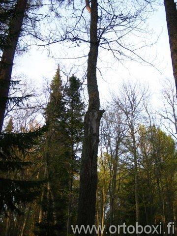 lv 46 igumenin kasvot puussa